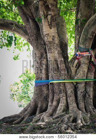 Big Pipal Tree