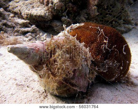 Triton and sea cucumber