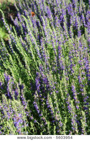 Blooming Hyssop