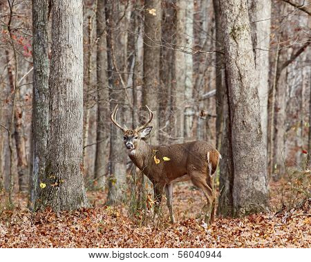 eight point buck deer