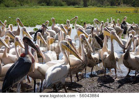 Pelicans And Marabu