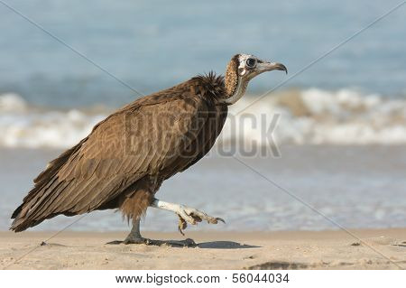 A Hooded Vulture (Necrosyrtes manachus) taking a step on the beach poster