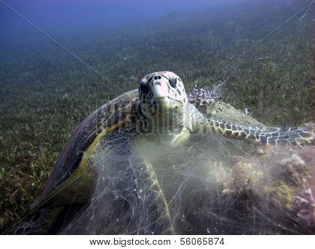 Hawksbill feeding on soft coral