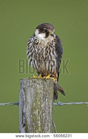 Captive Hobby on a fence post in Mid Wales with a green background. poster