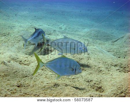 Trevallies and guitar shark