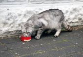 The street hungry cat of grey color eats a cat-like feed poster