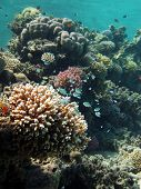 Blue green damsels swim over a small acropora coral poster