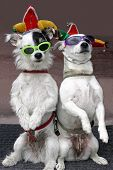 two dogs, wearing sunglasses, are clowning around. poster