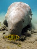 A sea cow eats seagrass with a juvenile pilot jack poster