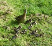 A brown tawny feathered mother duck protecting her ducklings on farm poster
