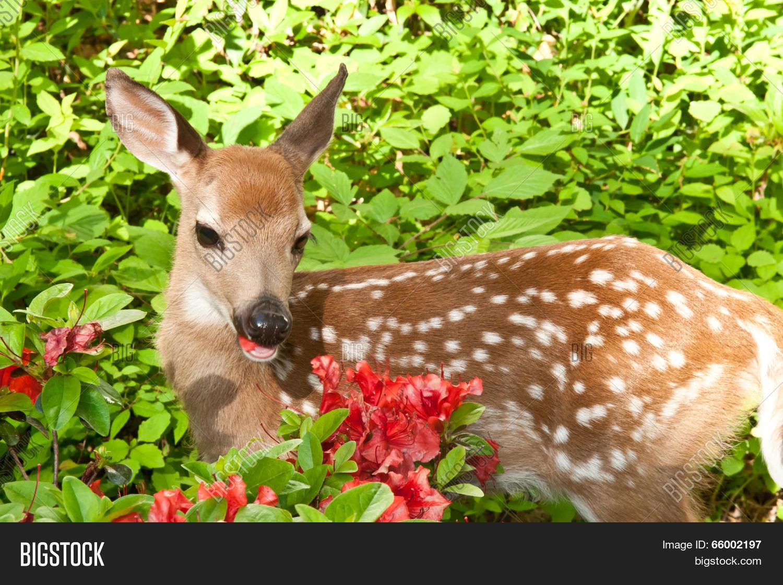 Baby Deer Image Photo Free Trial