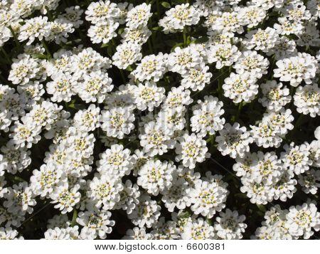 Perennial Candytuft Flower