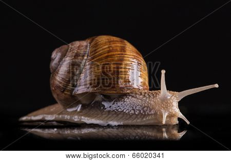 Snail isolated on black background, close-up.