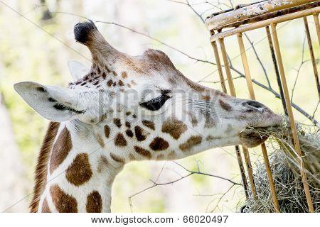 Rothschild's Giraffe Eats Dried Hay
