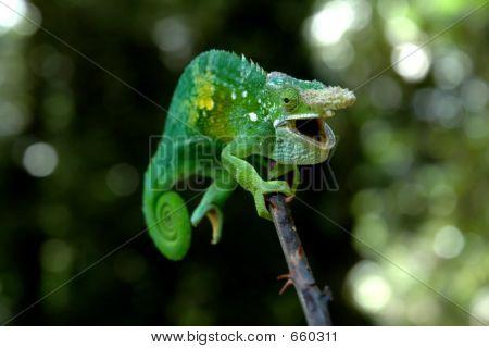 Rare Chameleon