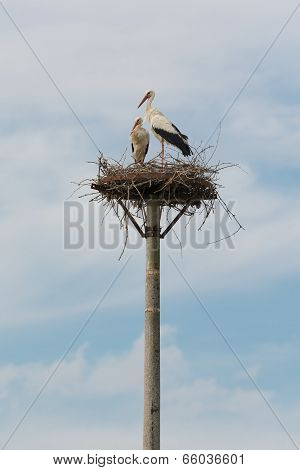 Two Storks On Their Nest