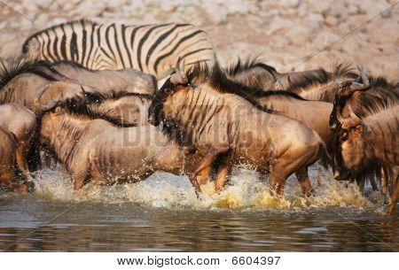 Blue Wildebeest Stampede