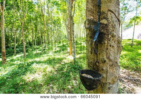 Milky Latex Extracted From Rubber Tree (hevea Brasiliensis)