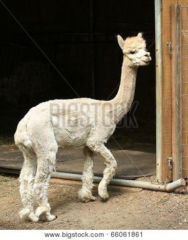 Cute Standing Alpaca