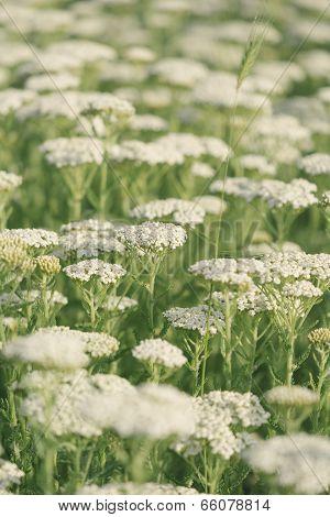 Yarrow field