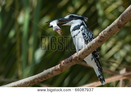 Pied Kingfisher (ceryle Rudis) Perched Holding A Large Fish