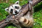A Baby Raccoon Learning to climb on a branch. poster