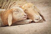 Little Lamb With Mother Sheep Sleeping