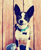 a cute chihuahua begging to be picked up  done with a vintage retro instagram filter poster
