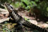 The Eastern Water Dragon is found throughout Australia. This example was photographed in the Sydney Harbour National Park. poster