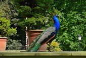 Beautiful, majestic, proud peacock with colorful tail exposed poster