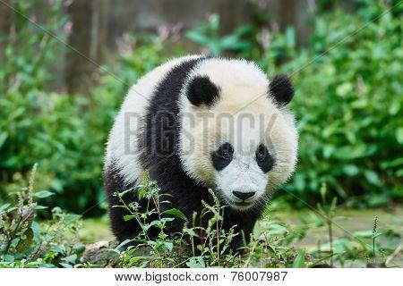 one Panda bear cub playing Bifengxia base reserve Sichuan China poster