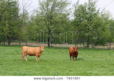 Cows grazing on pasture land in the country poster