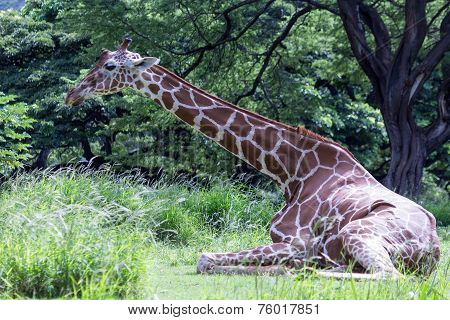 Giraffe Seated Languidly