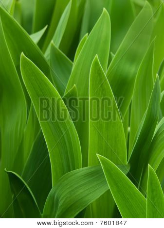 Leaves  Flower  Gladiolus