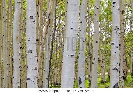 Birch tree barks