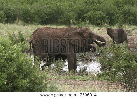 Elephants  (loxodonta Africana)