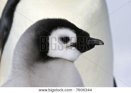 Emperor Penguin Chick (aptenodytes Forsteri)