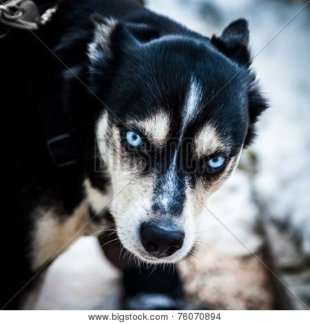 Blue Eyes Dog