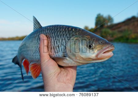 Really big chub in fisherman's hand
