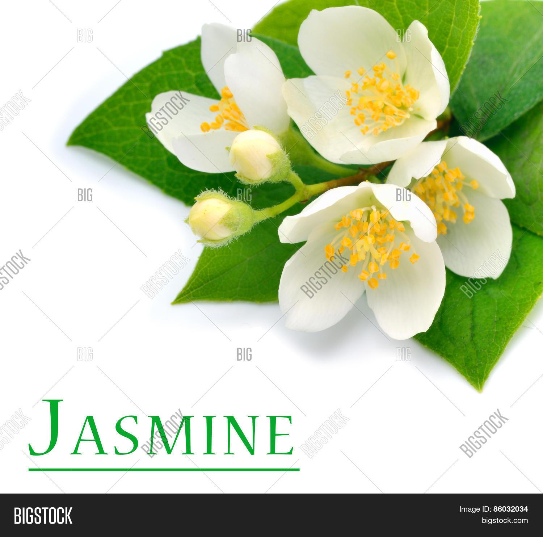 Blossom Jasmine Flower Image Photo Free Trial Bigstock