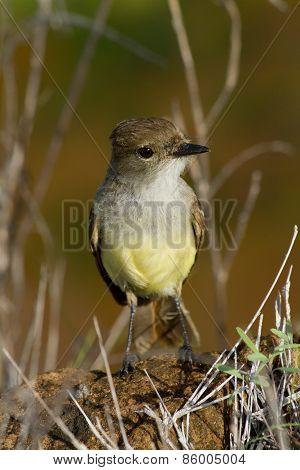 Yellow warbler bird in the Galapagos islands