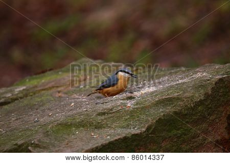 Nuthatch (Sitta Europaea) Perched on a Rock