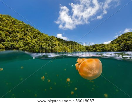 Split photo of endemic golden jellyfish in lake at the Republic of Palau. Snorkeling in Jellyfish Lake is a popular activity for tourists to Palau. poster