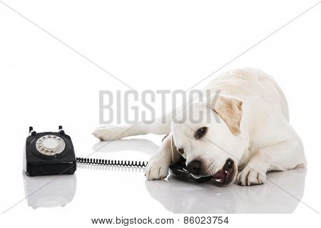 Beautiful labrador dog talking using a phone