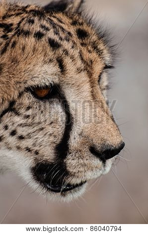 Portrait Of A Cheetah