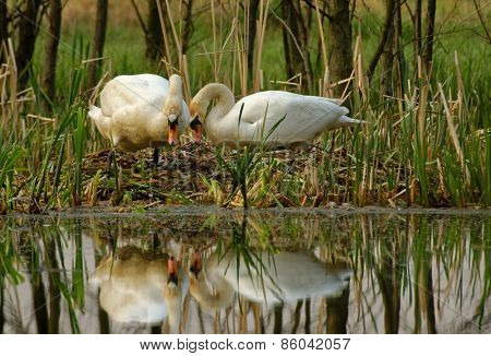 Pair Of Mute Swan By The Nest