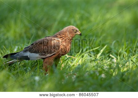 Marsh Harrier Male,sitting On The Meadow And Looking To The Right