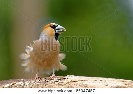 Hawfinch With Blown Feathers