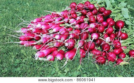 Many fresh radish with leaves