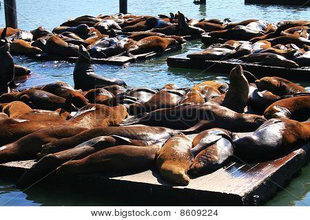 Sea lions sleeping in wood platforms at Pier 39, Fisherman's Wharf, San Francisco.